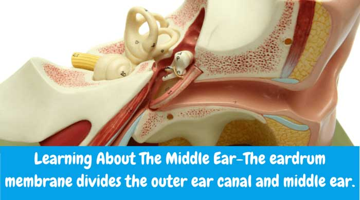 The eardrum membrane divides the outer ear canal and middle ear.